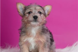 Peter - Yorkshire Terrier - Yorkie for sale