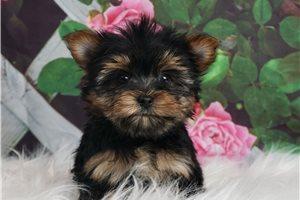 Teacup Sugar - Yorkshire Terrier - Yorkie for sale