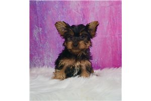 Wags - Yorkshire Terrier - Yorkie for sale