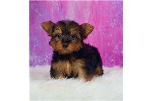 Sheba - Yorkshire Terrier - Yorkie for sale