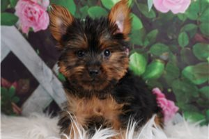 UA BR BooBoo - Yorkshire Terrier - Yorkie for sale