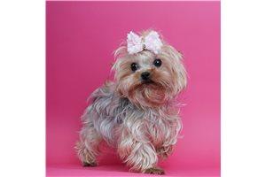 Cutie - Yorkshire Terrier - Yorkie for sale