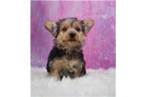 Wendy - Yorkshire Terrier - Yorkie for sale