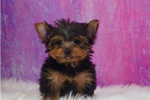 Milo - Yorkshire Terrier - Yorkie for sale