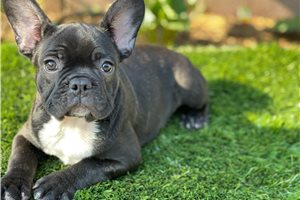 Jinx - French Bulldog for sale