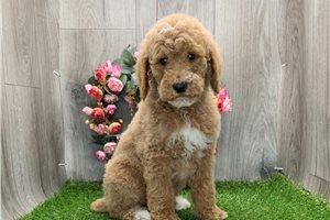Dave - Poodle, Standard for sale
