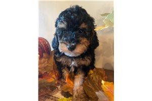 Rango - Poodle, Miniature for sale