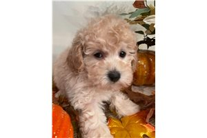 Annie - Poodle, Miniature for sale