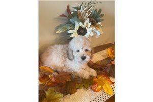 Carson - Poodle, Miniature for sale
