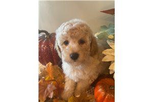 Brooks - Poodle, Miniature for sale