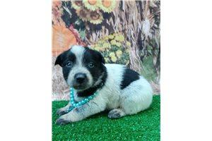 India - Australian Cattle Dog/Blue Heeler for sale