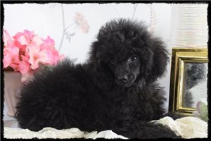 Beau - Poodle, Miniature for sale