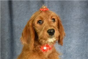 Peaches - Labradoodle for sale
