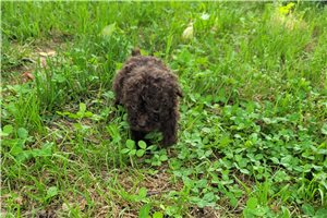 Blake - Poodle, Toy for sale