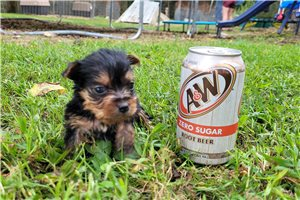 Gizmo - Yorkshire Terrier - Yorkie for sale