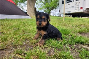 Ellie - Yorkshire Terrier - Yorkie for sale