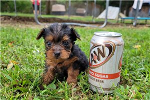 Miley - Yorkshire Terrier - Yorkie for sale