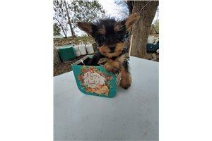 Remington - Yorkshire Terrier - Yorkie for sale
