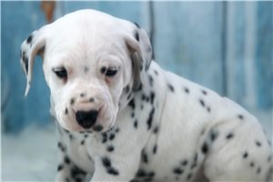 Bethany - Dalmatian for sale