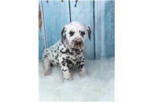 Beatrice - Dalmatian for sale