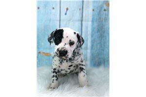Benjamin - Dalmatian for sale