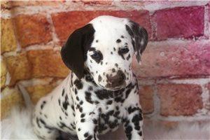 Bennet - Dalmatian for sale