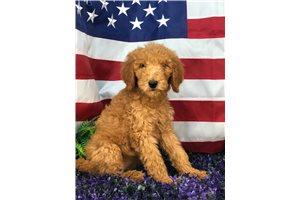 Ada - Poodle, Standard for sale