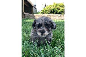 Gina - Poodle, Miniature for sale
