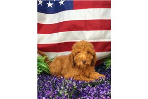 Avery - Poodle, Standard for sale