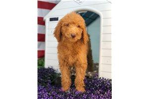 Abigail - Poodle, Standard for sale