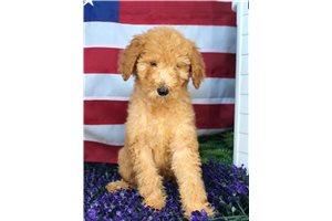 Adele - Poodle, Standard for sale
