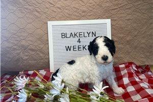Blakelyn - Poodle, Standard for sale
