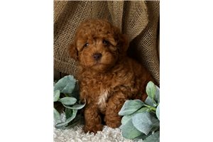 Ripple - Poodle, Toy for sale