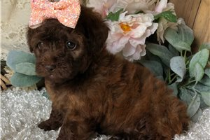 Penny - Poodle, Toy for sale