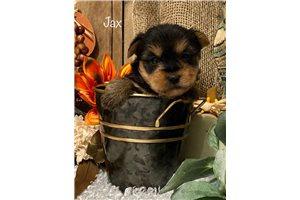 Jax - Yorkshire Terrier - Yorkie for sale