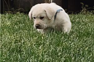 Casper - Labrador Retriever for sale