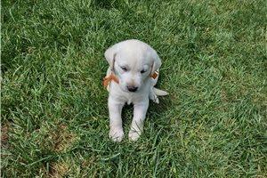 Tiny - Labrador Retriever for sale
