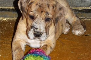 Atlee - Great Dane for sale