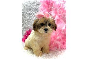 Princess - Shih-Poo - Shihpoo for sale