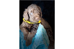 Yellow Fred - Labradoodle for sale