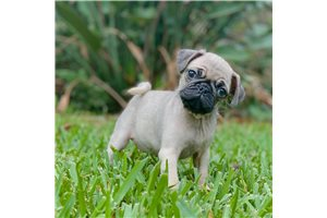 Jimmy - Pug for sale