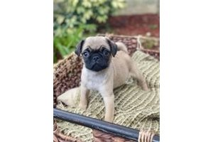 Toby - Pug for sale
