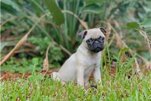 Marco - Pug for sale