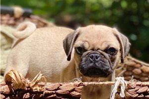 Cosmo - Pug for sale