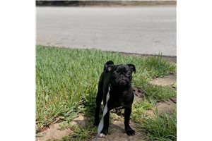 Chika - Pug for sale