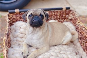 Molly - Pug for sale