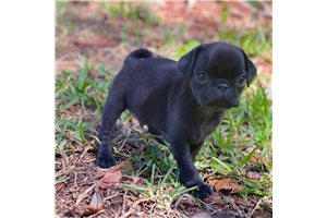 Don - Pug for sale