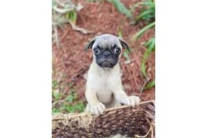 Missy - Pug for sale