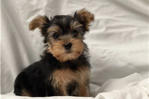 Clover - Yorkshire Terrier - Yorkie for sale