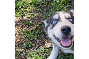 Diamond - Siberian Husky for sale